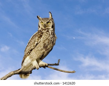 Great horned owl with sky background