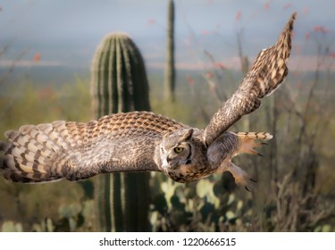 Great Horned Owl in Sonoran Desert Daytime in Flight with Saguaro Cactus