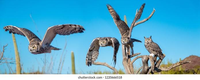 Great Horned Owl in Sonoran Desert Daytime Flying Sequence