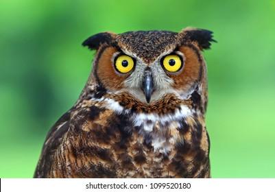 Great Horned Owl staring with golden eyes.
