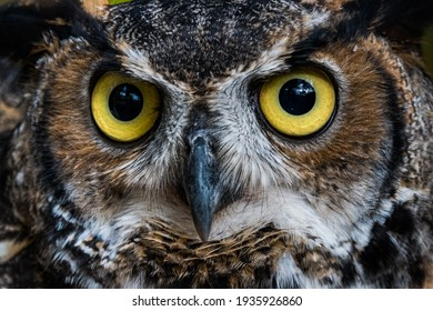Great Horned Owl Staring into Camera