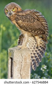 Great Horned Owl Stretch