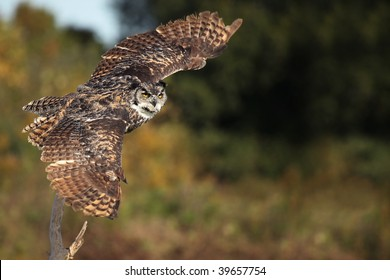 Great Horned Owl taking off from a perch with wings outstretched.