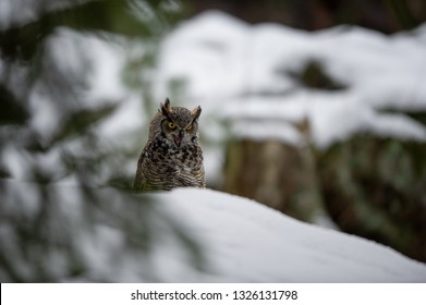 Great horned owl in the winter forest