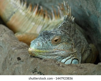 Great Iguana Rapture resting in the shelter