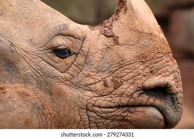 Great Indian Rhinoceros (Rhinoceros unicornis)