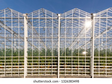 Great industrial tomato greenhouse on a sunny day in Maasdijk in Westland in the Netherlands