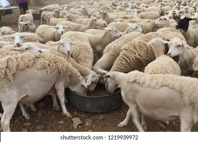 The Great Karoo is a semi desert area in South Africa and well-known for its sheep farming and taste meat. It can get terrible dry and sometimes the farmers have to feed the sheep mealies to survive.