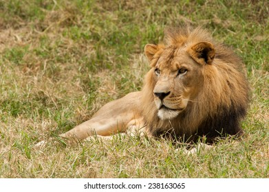 The great King Lion looks patiently as he sits on the grass waiting on his female counterpart to stop by.