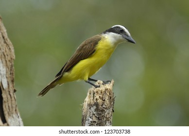 Great Kiskadee (Pitangus sulphuratus) on the Osa Peninsula, Costa Rica