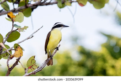 Great Kiskadee (Pitangus sulphuratus) Perched on a Branch in Mexico