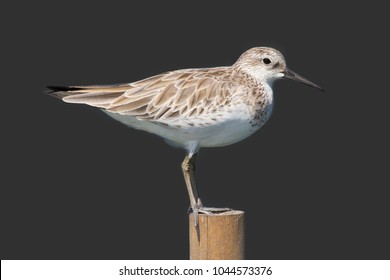 Great Knot (Calidris tenuirostris) bird adult non-breeding. Isolated on gray background.