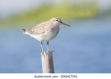 Great Knot (Calidris tenuirostris) bird adult non-breeding.