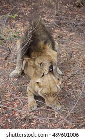 Great Kruger - Lions