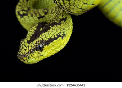 Great Lakes bush viper (Atheris nitschei)