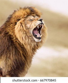Angry Lion Images, Stock Photos & Vectors | Shutterstock