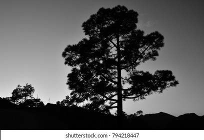Great lonely pine tree at nightfall, monochrome effect, Pilancones, Canary islands