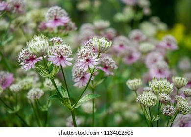 Great masterwort flowers,. Astrantia major, blooming in a garden