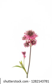 Great masterwort flowers (Astrantia major) isolated on the white background