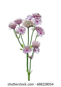 Great masterwort flowers (Astrantia major)