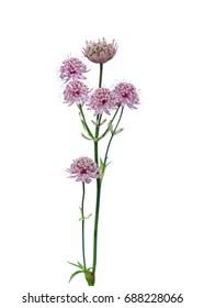 Great masterwort flowers (Astrantia major)