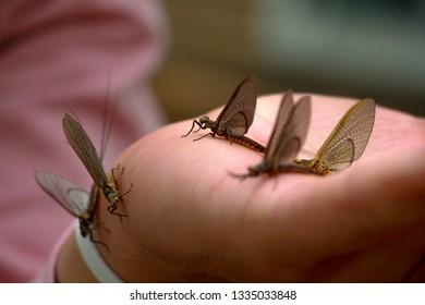 The Great Michigan Mayfly