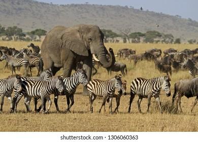 The Great migration, Serengeti National Park, Tanzania