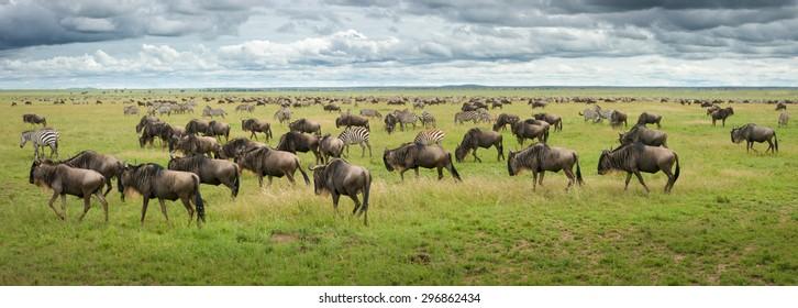 great migration wildebeest and zebras in serengeti plains tanzania