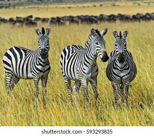 Great Migration of Zebra in Masai Mara