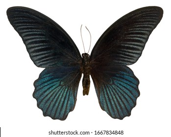 Great Mormon, Papilio memnon agenor, butterfly isolated on white background.