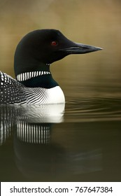 Great Northern Loon (Gavia immer), Common Loon