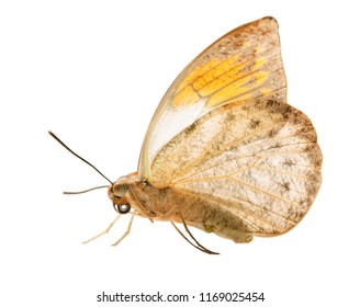 The great orange tip butterfly, Hebomoia glaucippe, is isolated on white background with wings closed. The underside of the butterfly resembles a dead leaf, but orange tips are seen on grey