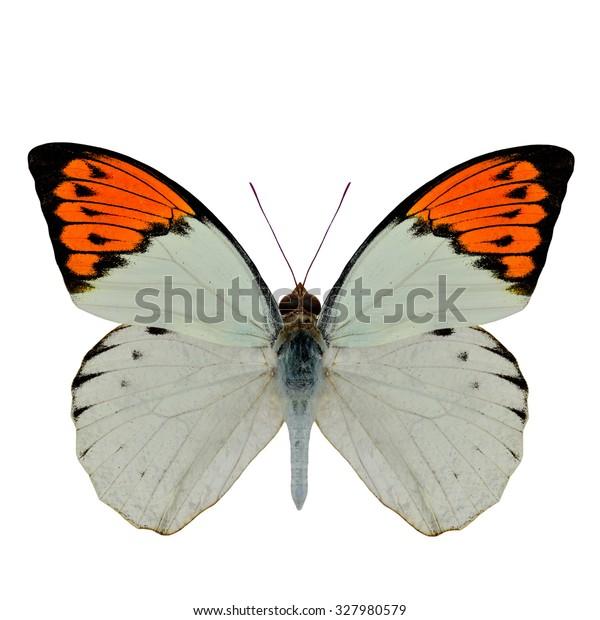 Great Orange Tip Butterfly