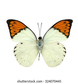 Great Orange Tip butterfly isolated on white background