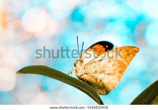 Great orange tip butterfly on orchid leaves