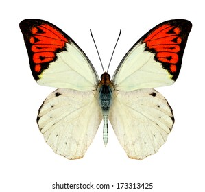 Great Orange Tip Butterfly upper wings profile in natural color isolated on white background