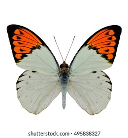 Great Orange Tip (Hebomoia glaucippe) upper wing part in natural colors, beautiful white with bright orange on its wings isolated on white background, magnificent nature