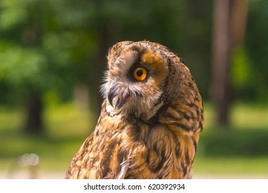 Great owl turns around neck in the spring