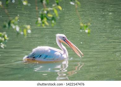 The great pelican. Bird in the park