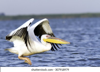 great pelican ( Pelecanus onocrotalus ) taking off from the water surface, Danube Delta, Romania
