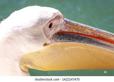 The great pelican. Portrait of the bird