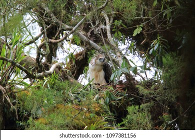 Great Philippine eagle (Pithecophaga jefferyi) nesting in Mindanao, Philippines