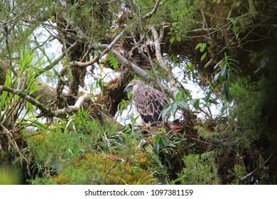 Great Philippine eagle (Pithecophaga jefferyi) nesting in Mindanao, Philippines