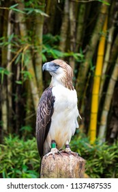 Great Philippines eagle also know as monkey eating eagle is one of the strongest eagle