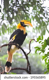 A Great Pied hornbill sits on a branch, hala-bala Thailand