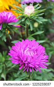 The great pink asters duet sings a sweet summer song. Pink asters on an isolated background.