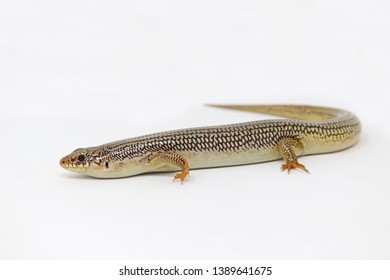 Great Plains Skink Lizard (Plestiodon obsoletus)