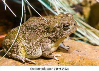 a Great Plains toad stands alone. It is a relatively large species of true toad native to central North America. It is grey, brown, and green in color, with darker colored blotching.