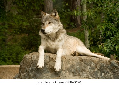 great plains wolf attentively watching while laying on rock in sun