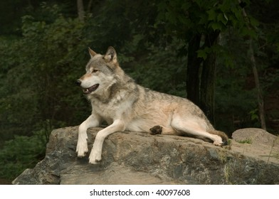 great plains wolf growling at something off camera while laying on a large flat rock in the sunshine